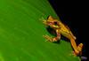 HourGlassTreeFrogWalking (TRAdamson Photography) Tags: costarica costa rica rainforests travel centralamerica puravida frog frogs amphibians tropicalfrogs hourglasstreefrog treefrog treefrogs herping herpetology herps costaricanherps costaricanrainforests