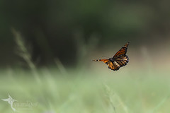 Monarch Butterfly (VS Images) Tags: monarchbutterfly butterflies insects insect insecta insectsinflight danausplexippus wildlife wildlifephotography wings nsw nature ngc naturephotography australia australianinsects vsimages vassmilevski olympusomdem1mkii mzuiko300mmf4pro omd em1mkii 300mm olympus olympusau getolympus m43
