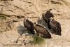 Himalayan Griffon (Ian.Kate.Bruce's Wildlife) Tags: himalayangriffon gypshimalayensis accipitridae vulture bird birds wildlife nature ianbruce katebruce corbettnationalpark uttarakhand india
