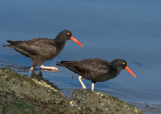 Oystercatchers in Tandem