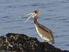 Brown Pelican (Robert Horne Wildlife Photography) Tags: brownpelican pelican pelecanusoccidentalis pelecaniformes pelecanidae pelecanus montereybay california juvenile