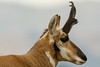 Up close (ChicagoBob46) Tags: pronghornantelope antelope buck yellowstone yellowstonenationalpark nature wildlife coth5 ngc npc