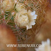 Mammillaria elongata (SUBENUIX) Tags: cactaceae mammillariaelongata suculentas subenuix subenuixcom planta suculent suculenta botanic botanical
