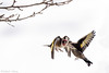 _JHS9547 (Bribes de terre) Tags: faune oiseau hiver chardonneret