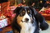 What's all this then? (sturner404) Tags: christmas 2017 winter december holiday presents dogs australianshepherd aussie echo tree home