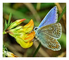 Blue beauty (Graham Pym) Tags: blue flora nikon spotted insect wings antennae palp proboscis yellow petals nectar
