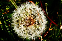 Dandelion Seed Head (time_anchor) Tags: justplainweeds seeds seedhead dandelionseedhead bullseye white delicacy gentleness softcaress weed weeds flower nature circlescirclescircles