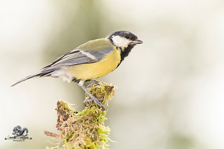 great tit standing on a trunk with moss