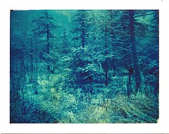 (babireley) Tags: pawilds pottercounty pa polaroid250 pottercountypa pinetree polacolor108 expiredfilm 1999 winter snow