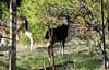 Fawn (TJ Gehling) Tags: mammal cervidae deer blacktaileddeer odocoileus odocoileushemionus fawn drmp dorothyrosenbergmemorialpark elcerrito