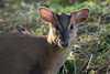 2017 highlights: muntjac, Lackford (pstani) Tags: lackfordlakes suffolkwildlifetrust wildlifetrust animal barkingdeer deer fauna muntjac