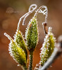 """""""HAPPY NEW YEAR"""" (K&S-Fotografie) Tags: frost winter ice crystals flora natur plant park macro closeup makro pflanze blume"""
