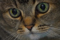 #Eye(s) Love at first sight #Redux2017 HMM (Ker Kaya) Tags: cat green eyes macromondays macromonday hmm mm proxi closeup face portrait sweet cute love lovely look looking may8eyes redux2017 redux2017myfavoritethemeoftheyear kerkaya fdekerkaya carlzeiss zeisslens sony rx10 rx10m4 rx10iv dscrx10 dscrx10iv dscrx10m4 sonydscrx10m4 2017 2018 loveatfirstsight soul pet animal macro chat
