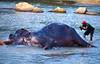 Elephant Bathing (bala_victoryy) Tags: india elephant bathing pinnawale srilanka nikon d5300 chennai cwc clicks water lake