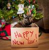 HNY 2018 (Katrina Wright) Tags: dsc0052 newyear cat box christmas catinbox tortoiseshell tortie ella