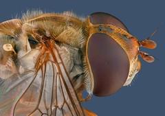 Hoverfly 2 (Mert Filiz) Tags: macro macrophotography micro focusstack focus stacking extrememacro nature wild fly insect bug wings animal closeup nikon stackshot ngc