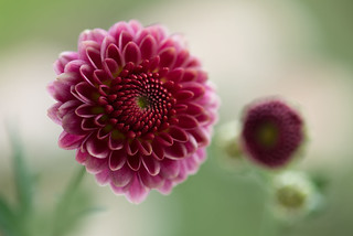 chrysanthemum 6118