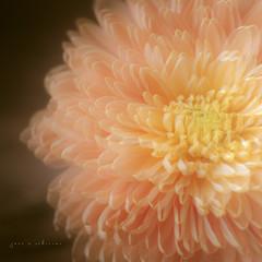 Dizzy Daisies (jm atkinson) Tags: doubleexposure macromondays flower orange yellow pink stilllife d700 60mm macro joanmatkinson
