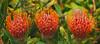 Triplets - Kula, Maui (Barra1man (Very, Very Busy)) Tags: protea sunburstprotea pincushionprotea triplets red garden upcountry agriculturalresearchstationofmaui kula maui hawaii unitedstates olympus olympusem1 iso800 lens300mm f5612000