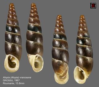alopia (alopia) vranceana roumanie 15mm8