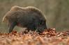 Wild Boar (oddie25) Tags: canon 1dx 300mmf28ii boar wildlife wildlifephotography wildboar forestofdean woodland nature naturephotography