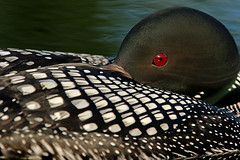 Very Tight Closeup Of A Common Loon Resting (AlaskaFreezeFrame) Tags: commonloon loons loon waterfowl summer lake lakes water bird birds waves alaska alaskafreezeframe beautiful divers redeyes ponds nature outdoors outdoor wildlife anchorage canon 70200mm telephoto gaviaimmer webbedfeet fall colorful reflection
