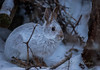 Snowshoe  Hare (21orion) Tags: shoe hare