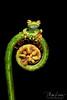 Best Of 2017 (Megan Lorenz) Tags: redwebbedtreefrog treefrog frog amphibian rainforest macro hypsiboasrufitelus nature wildlife wild wildanimals travel 2017 costarica mlorenz meganlorenz