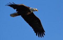 determined (David Sebben) Tags: bald eagle raptor nature bird mississippi river determined iowa