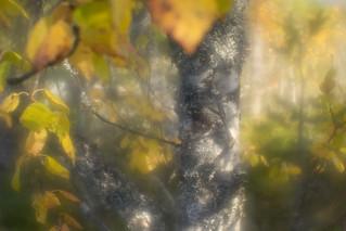 Glowing birch tree