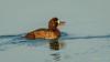 Greater Scaup (f) (Bob Gunderson) Tags: alamedacounty arrowheadmarsh aythyamarila birds california divingducks ducks eastbay greaterscaup northerncalifornia pochardsaythya