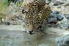 The Look (greekgal.esm) Tags: jaguar bigcat cat feline animal mammal carnivore livingdesertzoo livingdesert palmdesert sony rx10m3 rx10miii magia