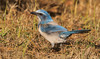 IMG_3876 Endangered Scrub Jay in Cape Coral, Florida (Wallace River) Tags: capecoral florida scrubjay
