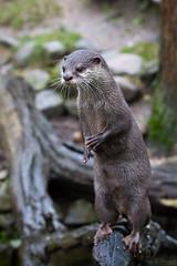 Small-clawed otter (Cloudtail the Snow Leopard) Tags: otter kurzkrallenotter zwergotter lutra tier animal mammal säugetier aonyx cinerea small clawed oriental asian zoo stadtgarten karlsruhe