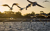 fishing frenzy (gnarlydog) Tags: australia bird sea sunset backlit contrejour water warmlight