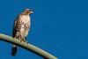 Red Tailed Juvenile (MelRoseJ) Tags: oakland california unitedstates us sonyalpha sony sonyilca77m2 a77ii alpha autofocus birds nature sal70200g