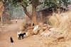 Kawardha _ Chhattisgarh - India (wietsej) Tags: kawardha chhattisgarh india sony a700 zeiss sal2470z 2470 goats child wietse jongsma bhoramdeo