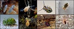My Springtail Discoveries - thx to Frans Janssens! (Bugldy99) Tags: collembola collage closeup macro macrocloseup animal arthropod arthropoda hexapod hexapoda springtail