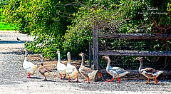 IMG_3158~The Parade (Cyberlens 40D) Tags: nj smithville village towns nature fauna fowl geese foliage fences walk parade sunny platinumheartawards