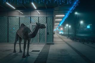 Camel and Christmas Lights