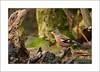 Chaffinch  Fringilla coelebs (prendergasttony) Tags: chaffinchfringillacoelebs nikon d7200 outdoors wild lancashire uk pennington rspb nature avian wildlife tonyprendergast