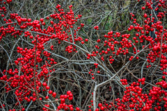 Winterberries-3_MaxHDR (old_hippy1948) Tags: winterberries