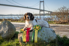 50/52 Nosework Winner (Flemming Andersen) Tags: prizes zigzag dog cocker winner 52weeksfordogs competition nosework middelfart regionofsoutherndenmark denmark dk
