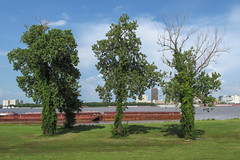 A Mississippi River instance of trees-on-a-lawn-picture. (Tim Kiser) Tags: 2014 20140710 acadiana batonrouge batonrougelandscape batonrougemetropolitanarea batonrougeskyline img3624 july july2014 louisiana mississippiriverlandscape mississippiriverriverfront portallen portallenlouisiana riverfrontpark westbatonrougeparish westbatonrougeparishlouisiana barge climbingplants downtown downtownbatonrouge lawn mowed mowedgrass partlycloudy riverfrontlandscape riverfronttrees trees treesonalawn viewfromalevee vinechokedtrees vinecoveredtrees vines vinesontrees waterfront unitedstates us
