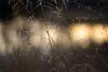Dancing (Captured Heart) Tags: field driedflowers driedgrass seasonschange goldenlight