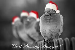The Pigeons of Christmas Past [Explore] (jonathanclark) Tags: christmas greetings pigeon merry happy holidays bird humour humor funny seasonal