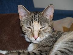 twix (2) (lorablong) Tags: twix cat pet westhollywood california