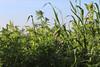 CKuchem-2104 (christine_kuchem) Tags: acker ackerrand agrarlandschaft biene bienenfreund bienenweide blühstreifen blüte boden bodenverbesserung dünger düngung eiweis eiweiserbsen erbsen feld felder grün gründünger insekten klee kulturlandschaft landwirtschaft lupinen mischung nahrung nektar phacelia pisumspec ramtillkraut sommer verbesserung winter winterroggen bio biologisch blau lila naturnah natürlich