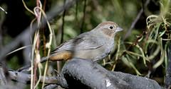 Canyon Towhee (Pipilo fuscus); Catalina Regional Park, Arizona [Lou Feltz] (deserttoad) Tags: wildlife nature arizona tree desert plant bird wildbird sparrow towhee park