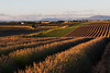 Diagonals (MrBlackSun) Tags: lavender landscape lavande scenery provence france valensole sunset nikon nikond810 d810 golden goldenlight